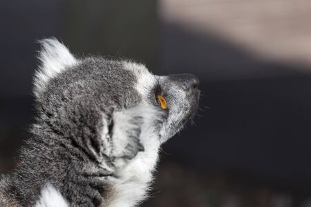 Close-up of the head of a lemur intently watching something with its yellow eyes.
