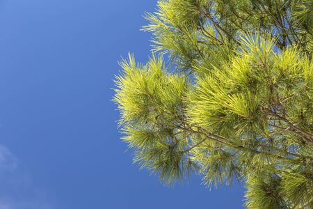 Branches with needles of Mediterranean pine close-up occupy half the frame against a blue sky