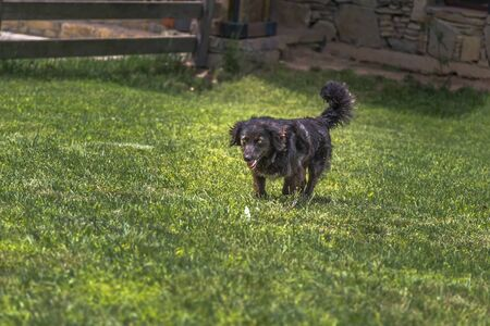 Black shaggy dog runs, sticking out his tongue, on the lawn with green grass on a sunny summer day Stock fotó