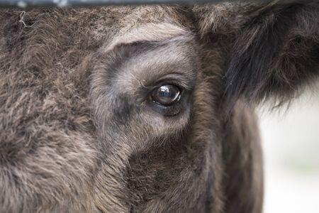 Helsinki, Finland - Detail eye portrait of European bison. Fur coat with eye of big brown animal in the nature habitat