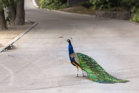 Peacock with a chic tail stands half a turn on an asphalt path in the shade of trees