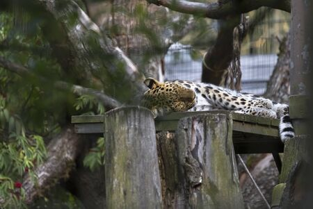 Handsome leopard sleeps among tree branches Stock fotó