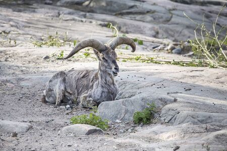Bharal or blue nahur with gorgeous horns resting lying on a gentle hillside and chewing grass