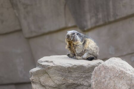 Alpine marmot sits on a stone with his legs clasped and watches what is happening around