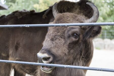 Adult Bison chews grass and looks through corral bars Stock fotó