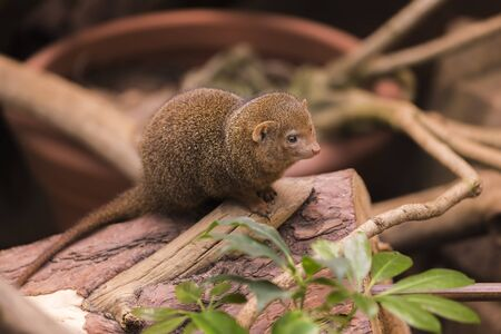 Dwarf Mongoose closeup sits on a tree branch against a background of plants and looks away