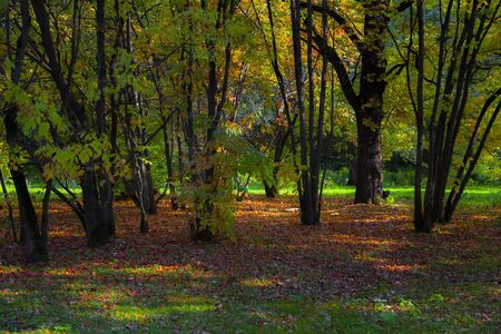 The image of a forest glade at the very beginning of autumn, colorful fallen leaves and warm rays of the autumn sun