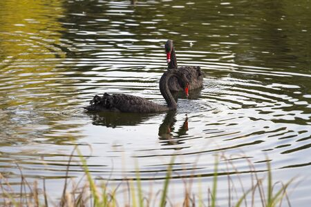 Close-up of two black swans half-turned to each other with red beaks swimming in a pond at sunset Stock fotó