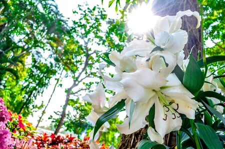 florae: white lilly under the tree