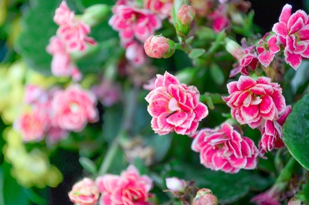 florae: thousands of roses s pink color