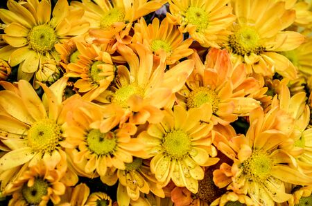 florae: chrysanthemums
