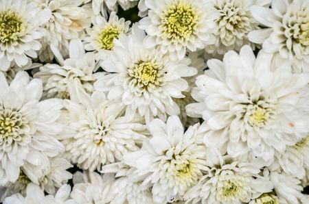 florae: White chrysanthemum in the garden