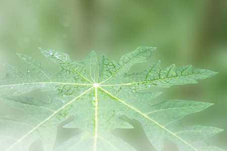 Papaya green leave with blurs background on the summer.