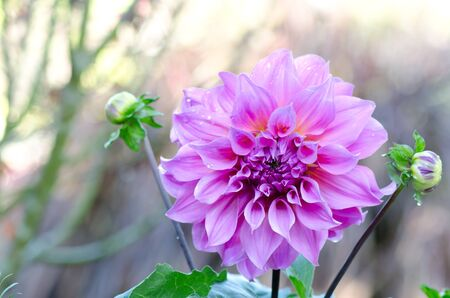 close-up pink Dahlia blooming with green leaves