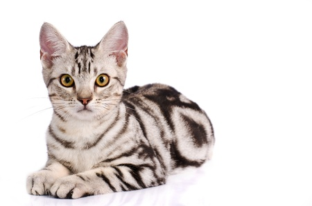 American Shorthair Cat in white background Фото со стока