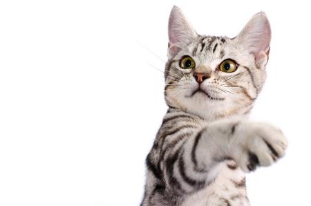 白い背景の上の猫スクラッチを分離します。
