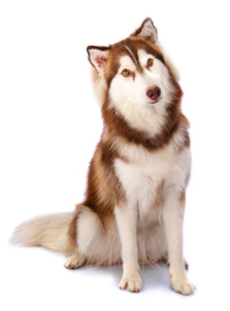 dog sled: Siberian Husky in front of a white background