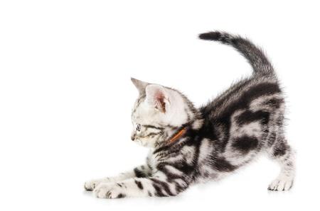 흰색 배경에 고립 된 미국 쇼트 헤어 고양이 새끼 고양이