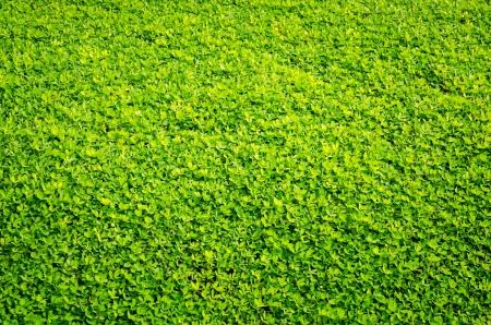 Pinto Peanut plant (Arachis Pintoi cv. Amarillo)  grass Background