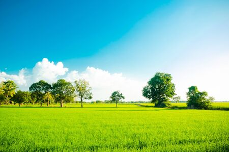 Rice field green grass blue sky cloud cloudy landscape background