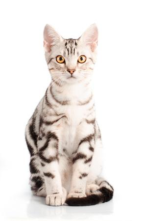 흰색 배경에서 미국 쇼트 헤어 고양이