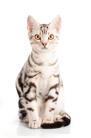 grey tabby: American Shorthair Cat in white background Stock Photo