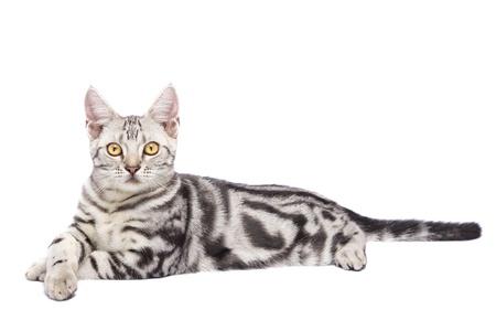 白の背景でアメリカの猫