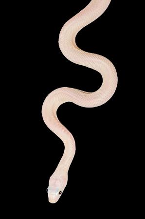 ヘビを白い背景に分離します。