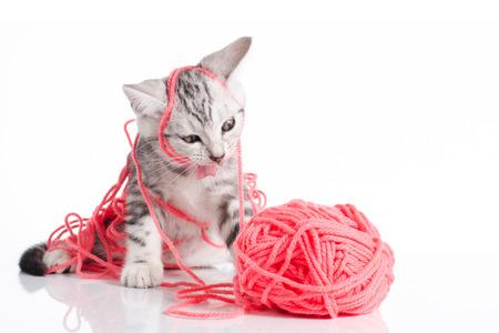 흰색 원사의 핑크 공 귀여운 미국 짧은 머리 고양이