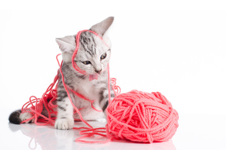 Cute american Short hair cat with a Pink ball of yarn on white  Фото со стока