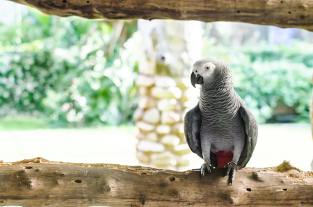 An African Grey Parrot photo