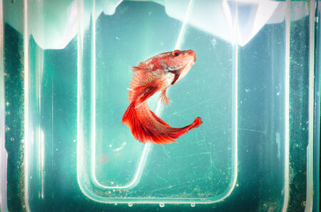 crowd tail: Siam Fighting Fish on grunge background Stock Photo