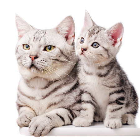 American shorthair kitten sitting with father cat