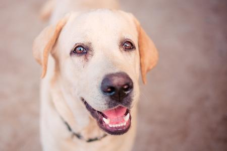 close up Labrador retriever with filter effect