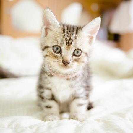 prankster: Small American Short Hair kitten Stock Photo