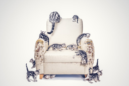 Many American shorthair kittens Destroyed the sofa with fillter effect Фото со стока