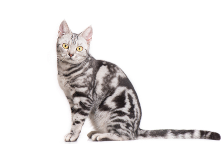 shorthair: American Shorthair Cat in white background Stock Photo