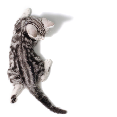 Top view  American Shorthair Cat on white background