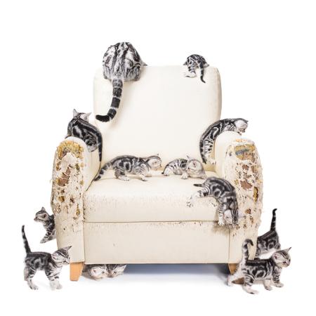 多くのアメリカンショートヘアの子猫がソファを破壊