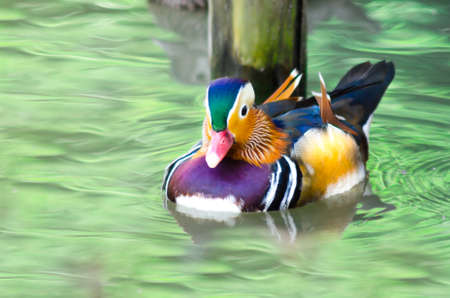 mandarina: Mandarin duck floating and calm on the water