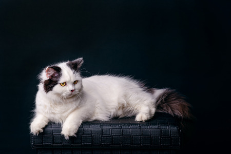 bad luck: white cat on dark background domestic animal mysterious patient and curious sometimes spooky and evil brings bad luck Halloween kitten is patiently looking staring at night to catch a prey copy space Stock Photo