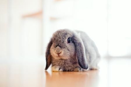 cute Baby Holland lop rabbit on wooden floor 写真素材