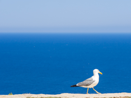 A seagull walking over a wall outside of La Mola lighthouse Stok Fotoğraf