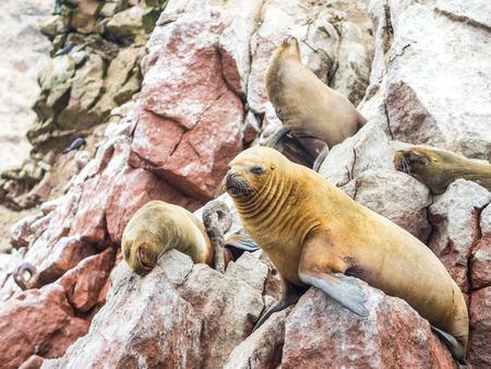 Peruvian sea lions seen in the Ballestas islands, in the Paracas National Park, Peru