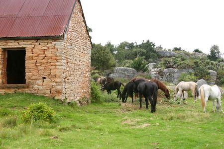 Group of wild horses feeding on fresh grass photo