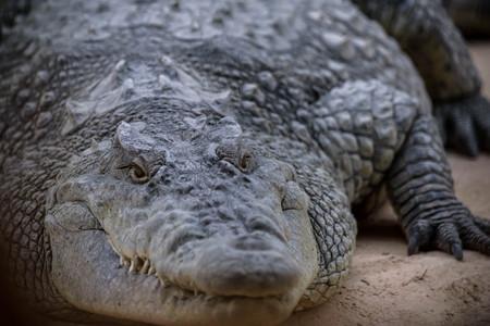 crocodile Banque d'images