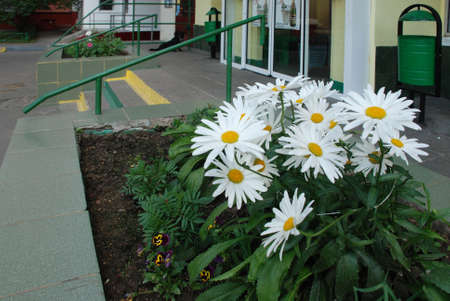 near: Daisywheel with large colour grows on flowerbed near shop
