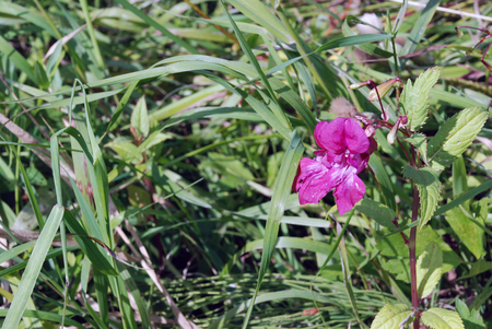 amongst: Solitary flower mauve colour grows amongst green meadow