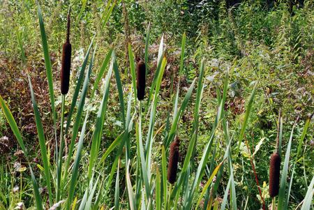 ceased: Has Ceased to bloom bulrush, is wilted sheet, gets dark boring herb