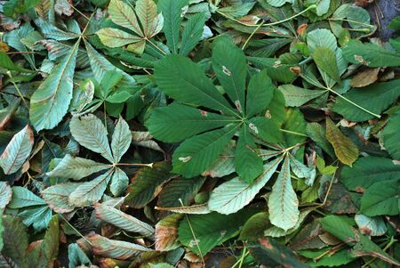 leaves falling: Autumn green chestnut leaves falling on the cold ground